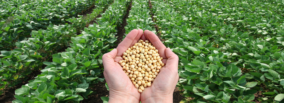 soy beans and soy field
