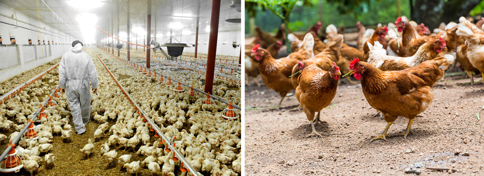 Battery farmed Poultry and Organically farmed Poultry