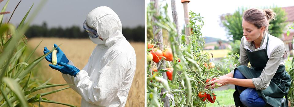 biotechnology GMO corn and organic tomatoes