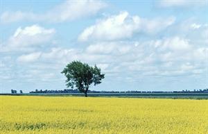 canola rape-seed field