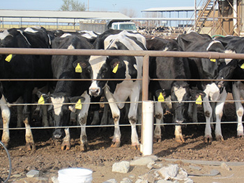 feed lot cows
